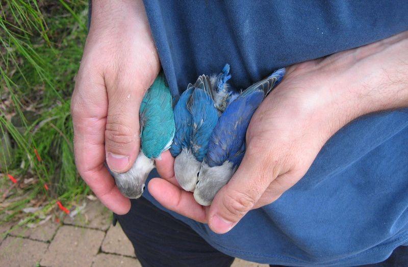Beda Lovebird Violet, Biru Mangsi, dan Cobalt (albsaustralia.com)