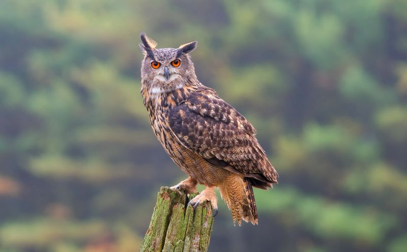 61  Gambar Burung Owl HD Terbaru Free