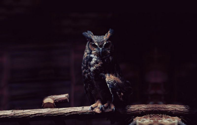 Download 45+  Gambar Burung Hantu Terbesar Di Dunia  Terbaru