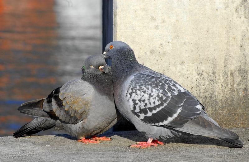 Burung Merpati setia dan tidak pendendam karena tidak punya kantong empedu (flickr.com)