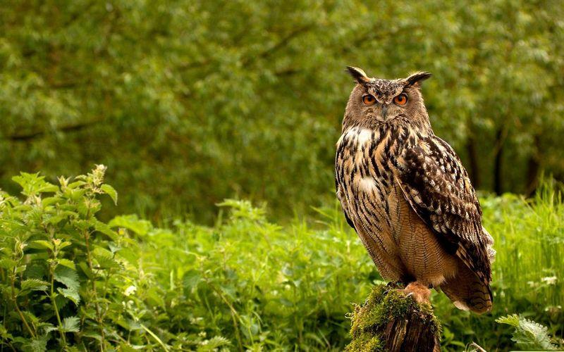 Gambar Burung Hantu Bubo Sumatranus (yandex.ru)