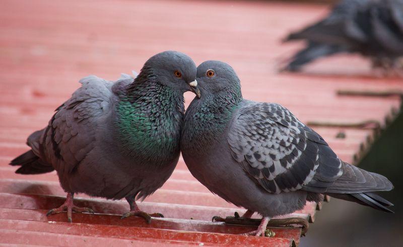 Kesetiaan burung Merpati (wildnepal.weebly.com)