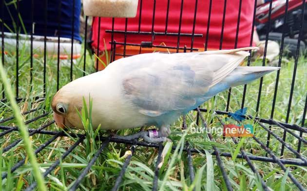 Lovebird New Samba sedang makan rumput (burungnews.com)