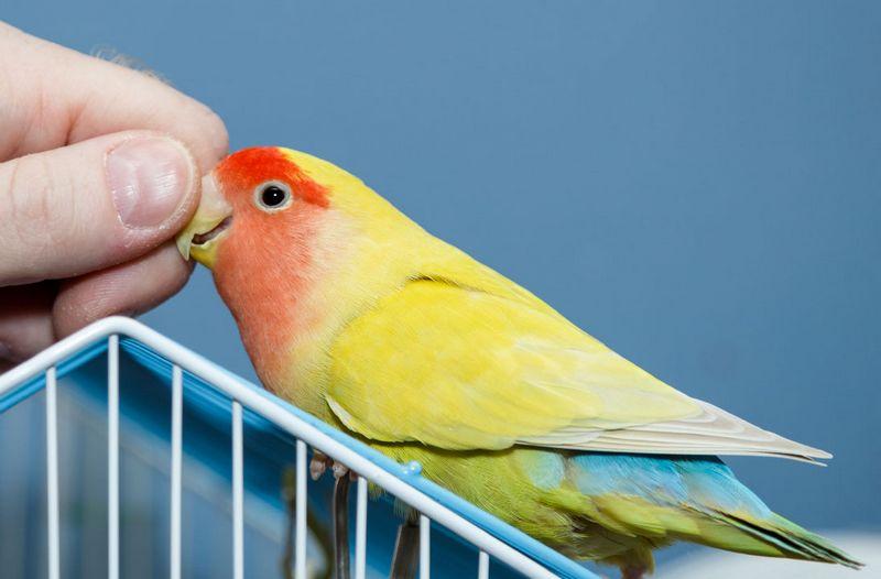 Lovebird diberi pakan obat terlarang (lovebirdcare.com)
