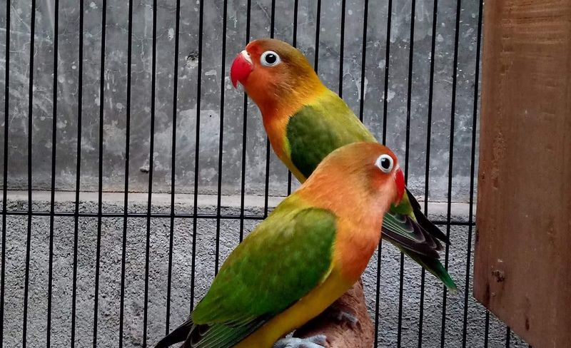 Perbedaan Lovebird Konslet dan Fighter (steemit.com)