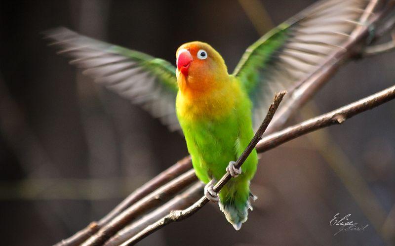 Setingan Lovebird Paud single fighter (elisej-photographie.deviantart.com)