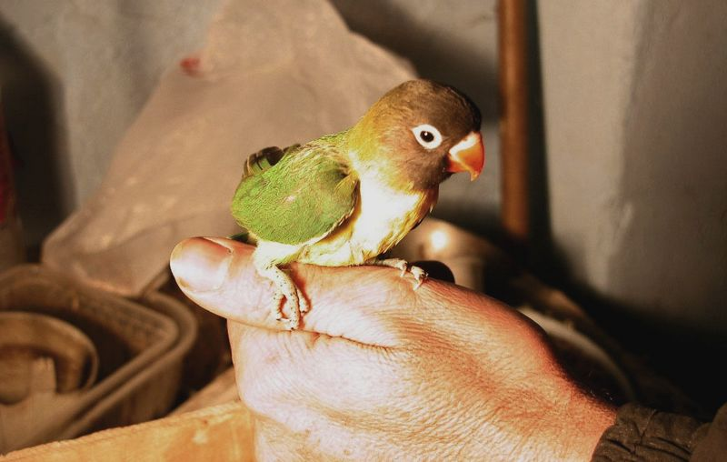 Setingan tunggal Lovebird Balibu single fighter (parrot-bird.com)