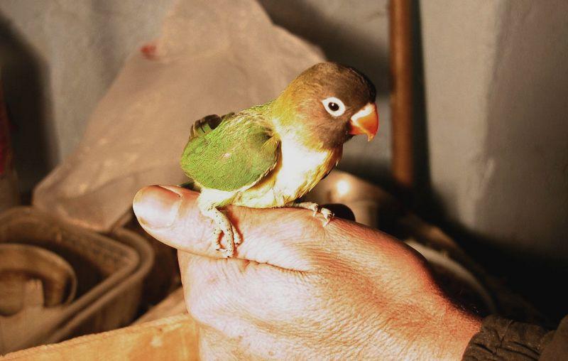 Setingan tunggal Lovebird Balibu single fighter (parrot-bird.com)