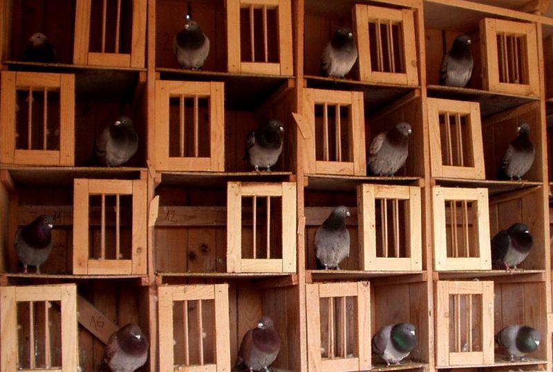 Bisnis budidaya Merpati Potong (pigeonmania.com)