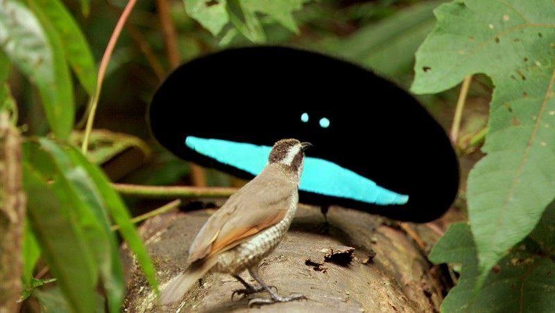 Burung Cenderawasih Kerah (hashem.com)