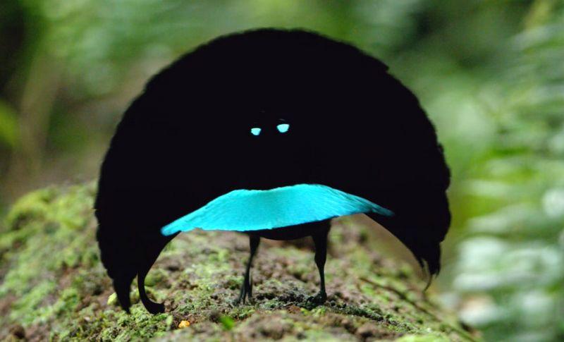 Burung Cenderawasih Vogelkop (youtube.com)