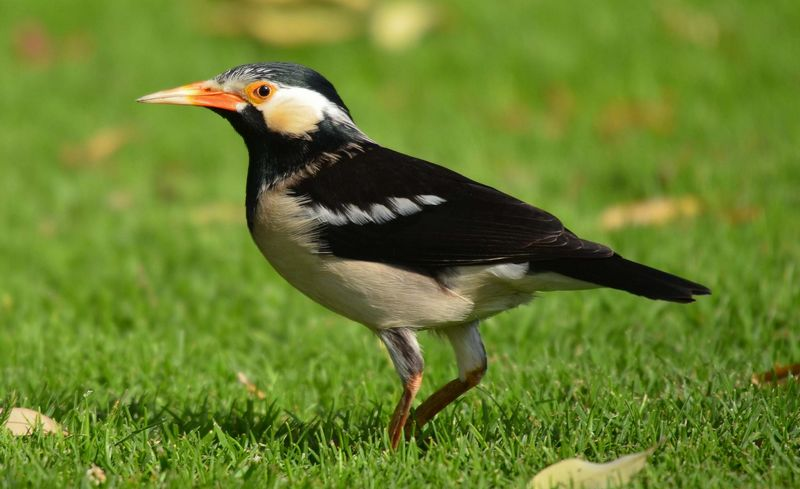 Burung Jalak Suren Diam dan Macet Bunyi (hbw.com)
