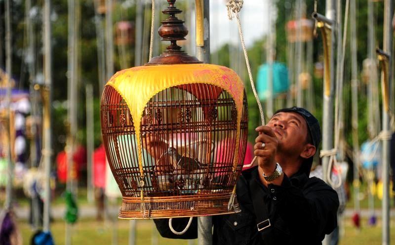 Burung Perkutut Lomba yang bagus (hindustantimes.com)