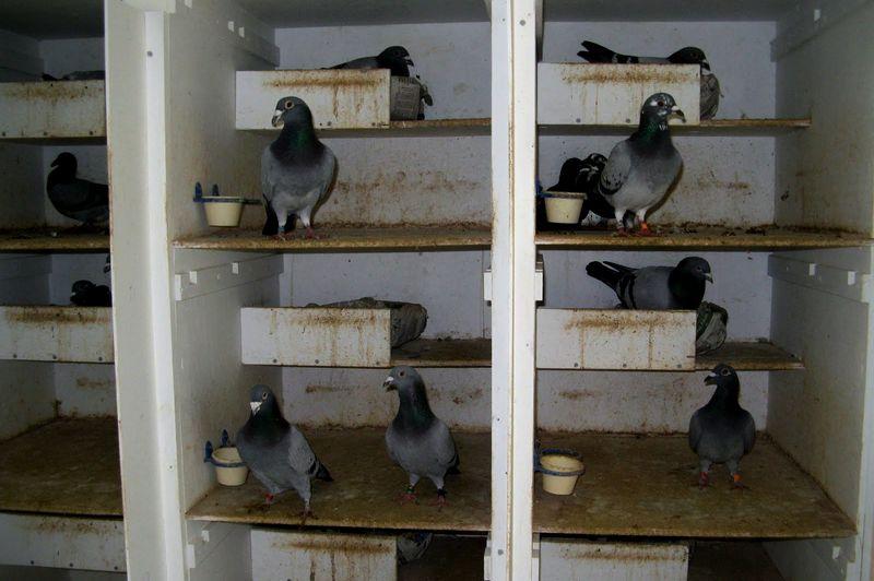 Cara Ternak Merpati Potong (peigeobeginner.blogspot.com)