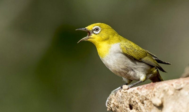 Gambar burung Pleci buka paruh (IndianBirdsPhotography.blogspot.com)