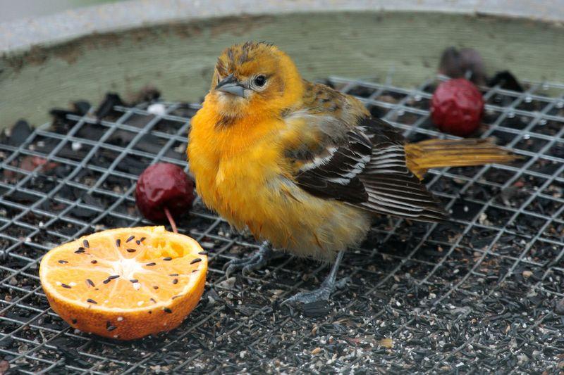 Kenari makan buah Jeruk dan anggur (birdscalgary.wordpress.com)