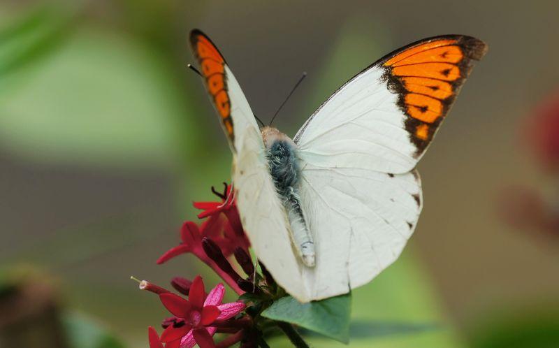 Kupu-kupu beracun (wikimedia.org)