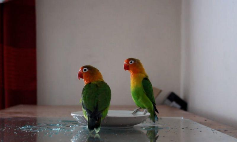Lovebird Tipe Dingin atau Basah Mandi di Piring (youtube.com)