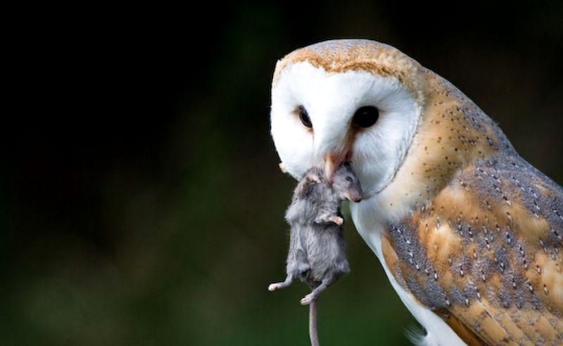 10 Perbedaan Cara Memberi Makan Burung Hantu Besar dan Kecil