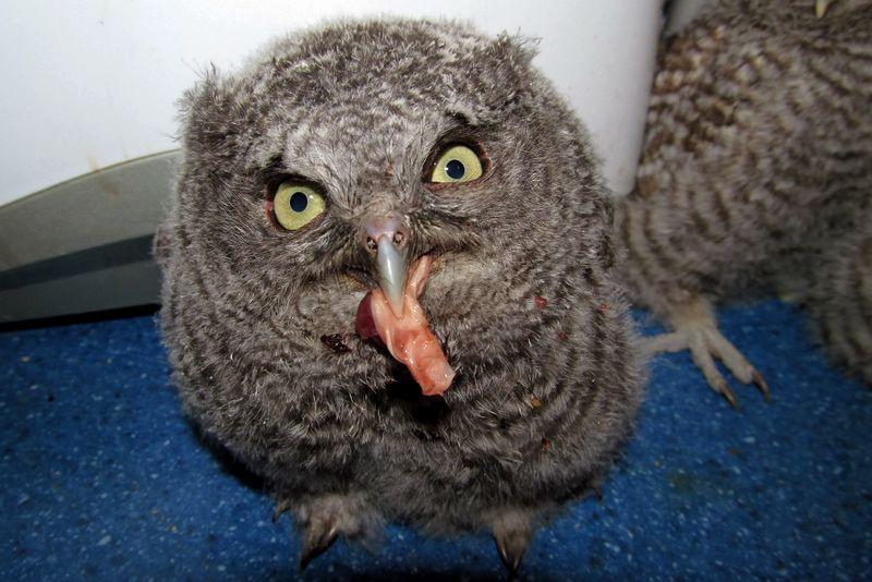 Memberi makan burung Hantu muda atau kecil (indianaraptorcenter.com)