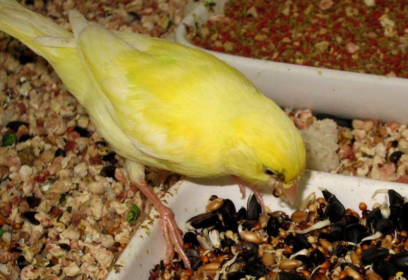 Pakan biji-bijian untuk burung Kenari gacor (canarytales.blogspot.com)