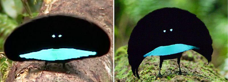 Perbedaan Cenderawasih Vogelkop dan Kerah (cals.cornell.edu)