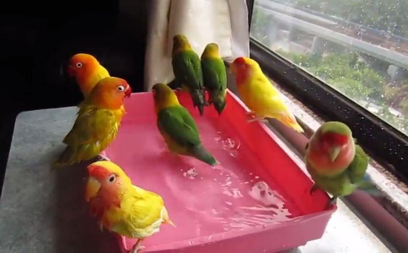 Perbedaan Lovebird Tipe Panas dan Lovebird Tipe Dingin (youtube.com)