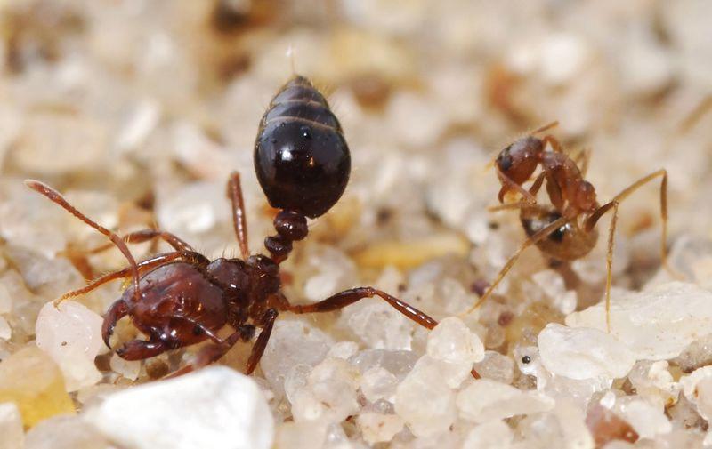 Semut api (sciencenews.org)