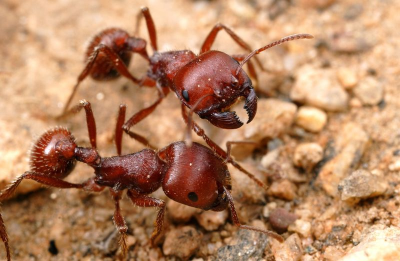 Semut merah (alexanderwild.com)