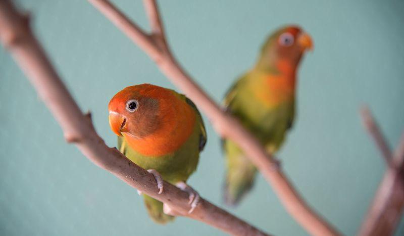 Burung Lovebird Populer di Indonesia (thesprucepets.com)