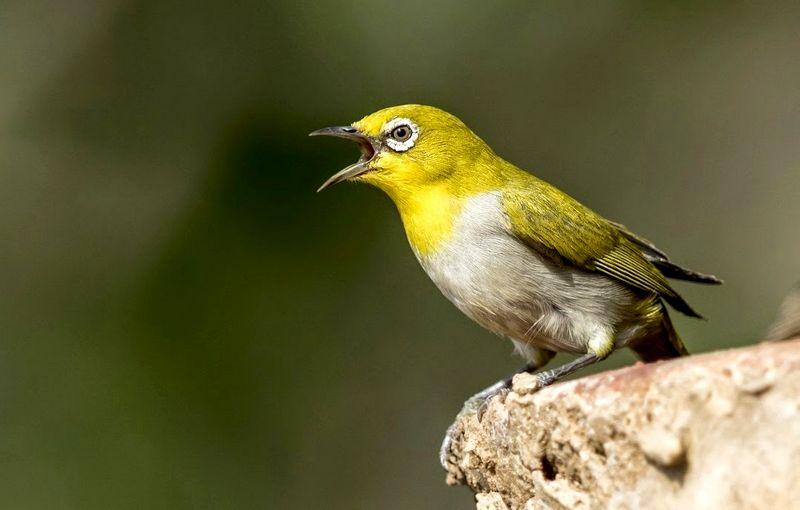 Cara Membuat Pleci Buka Paruh (indianbirdsphotography.blogspot.com)