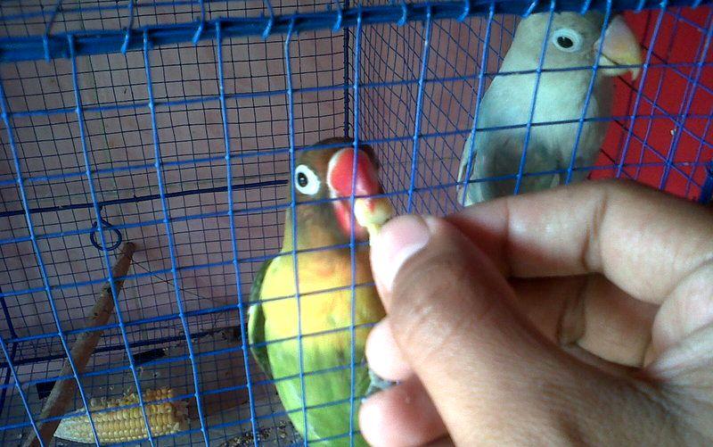 EF untuk Lovebird Lomba (budidayalovebirds.blogspot.com)