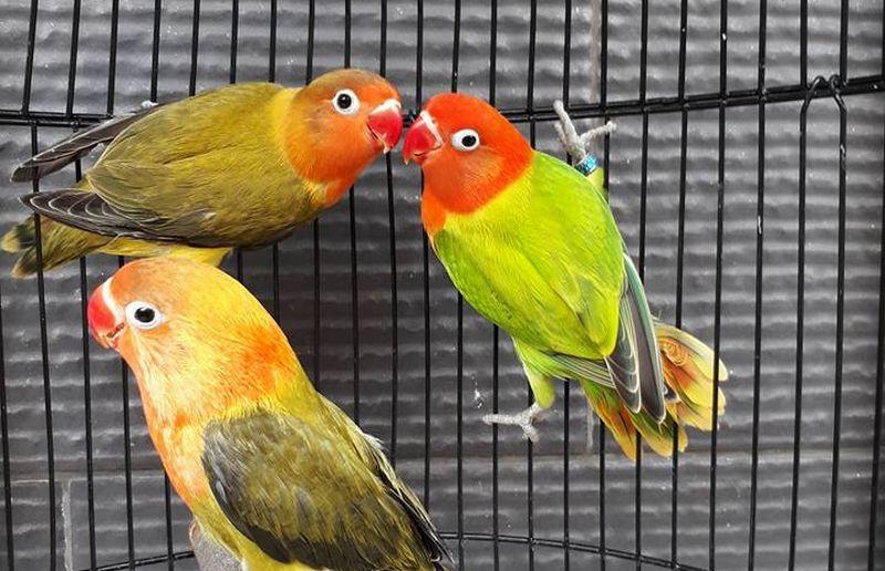 Jenis Lovebird Biola Lengkap dengan Gambar dan Harga (facebook.com)