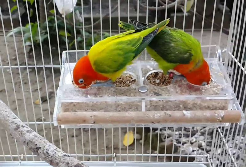 Lovebird Biola Euwing Green (youtube.com)