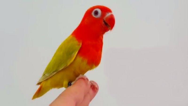Lovebird Biola Fallow (youtube.com)