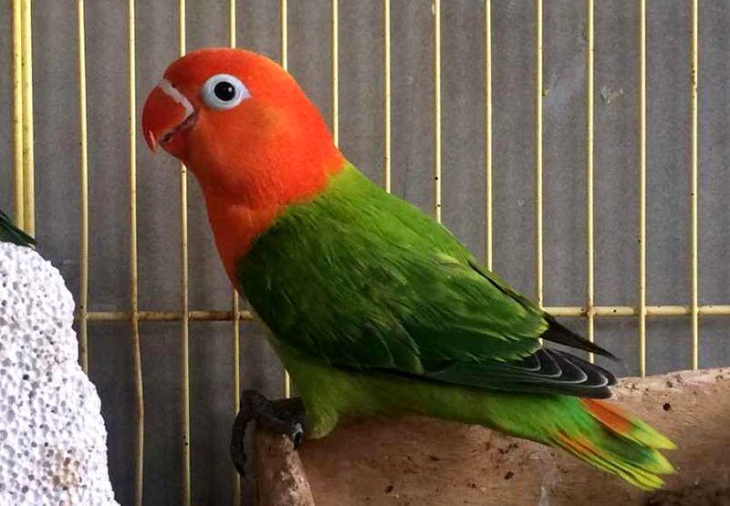 Lovebird Biola Green (tumblr.com)