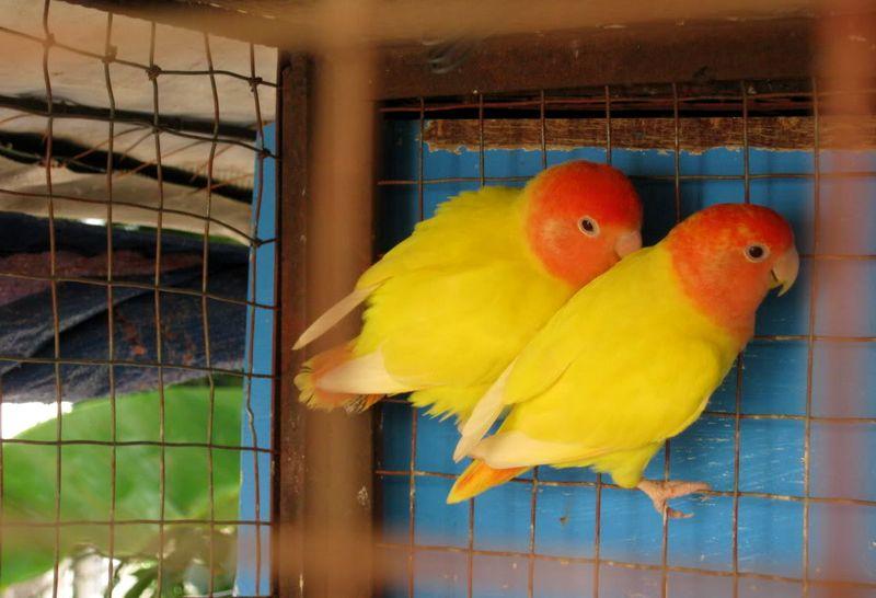 Lovebird Biola Lutino (birdsplanet.com)