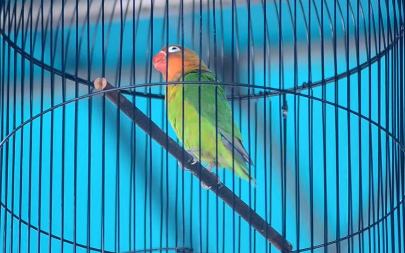 Lovebird Fretty Menolak Tawaran Rp 1 Miliar (youtube.com)