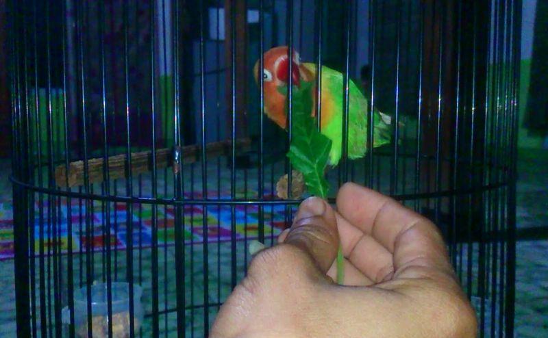 Mengatur Birahi Lovebird Lomba (mysomer.com)