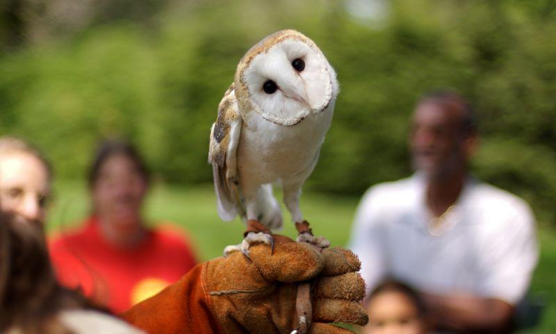 80 Foto Burung Hantu Barn Owl Gratis Terbaik
