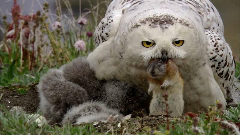 Burung Hantu Berburu Kelinci (framepool.com)