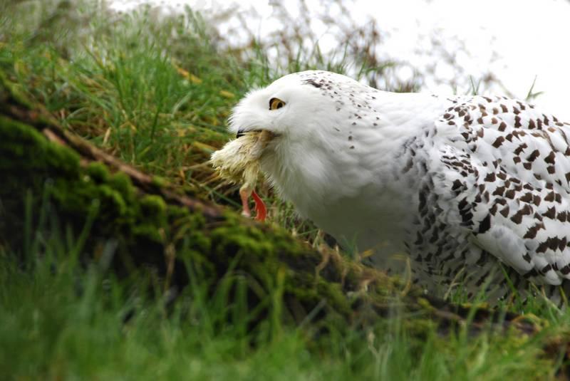 Burung Hantu makan anak ayam (birdeden.com)