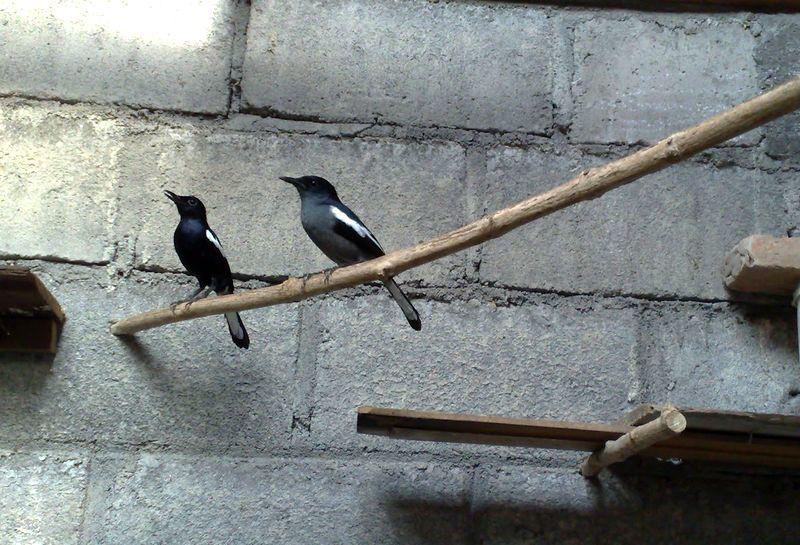 Cara Ternak Kacer (koleksiunik86.blogspot.com)