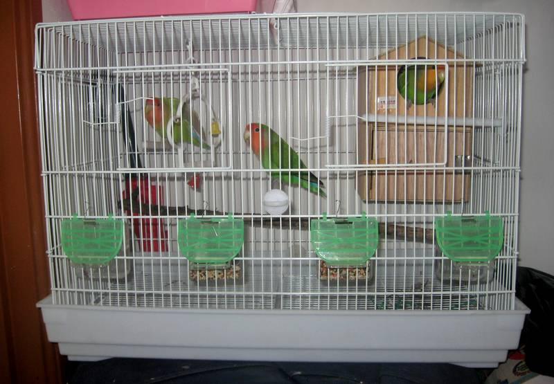 Cara Ternak Lovebird Poligami (warna-warni-lovebird.blogspot.com)