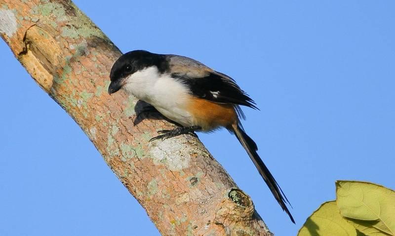 15 Ciri Ciri Cendet Madura Lengkap Dengan Kelebihannya Burungnya Com