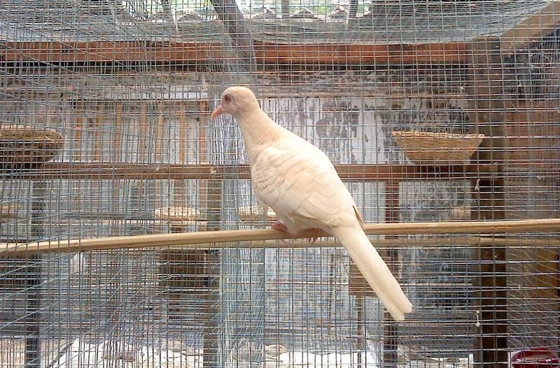 Ciri Perkutut Bertuah Warna Putih (kututwarna.blogspot.com)