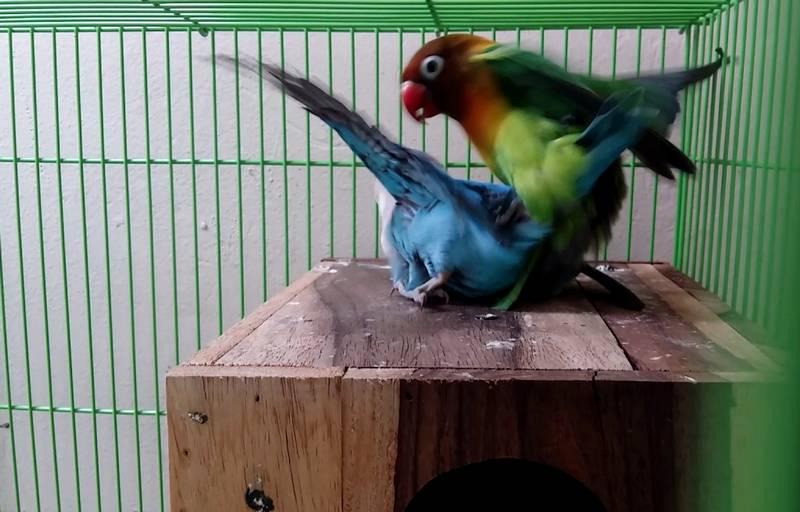 Lovebird Jantan Takut dengan Lovebird Betina (youtube.com)
