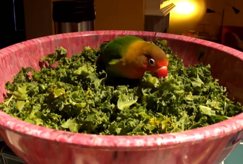 Lovebird makan tanaman hijau atau sayuran (youtube.com)