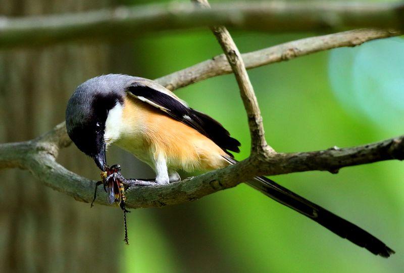 Makanan Burung Cendet agar Rajin Bunyi (pinterest.com)
