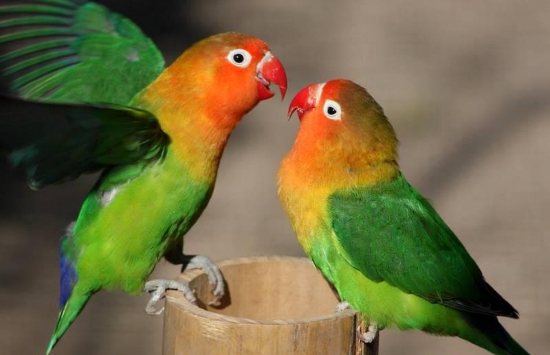 8 Makanan Lovebird Biar Cepat Birahi dan Cepat Kawin